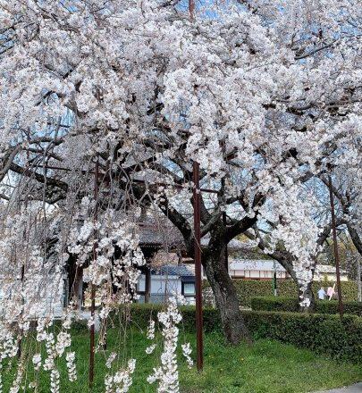 桜の季節になりました🌸